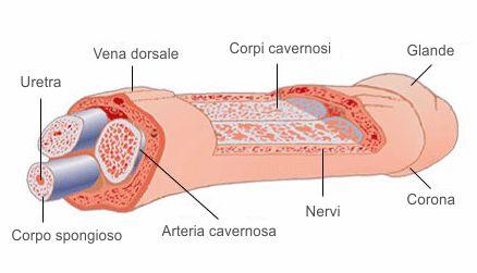 anatomia del pene